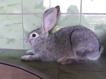 Кролик, порода серый великан. 5 месяцев. Срочно. в Кок-Ой