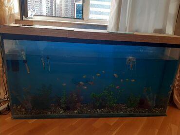 xb usaq kolqotunu almaq - Azərbaycan: İçindəki hər şeyi ilə birlikdə akvarium satıram təcili.Xaiş edirəm