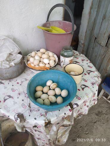 138 объявлений   ЖИВОТНЫЕ: Продаю кур породы Линор им год и 8 месяца нисутся очень много и