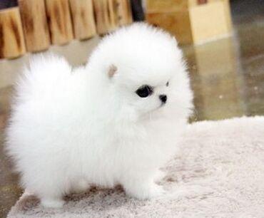 Μίνι κουτάβια Pomeranian προς πώλησηWhatsApp μου +33 Γεια σας έχουμε