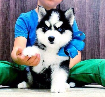 Шикарный щенок хаски. Очень пушистый, красивые яркие глаза. Ростили