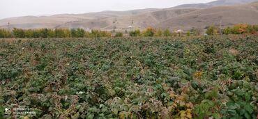 квартира керек кызыл кыя in Кыргызстан | ТИГҮҮЧҮЛӨР: Малинанын Кочотун сатам дорого