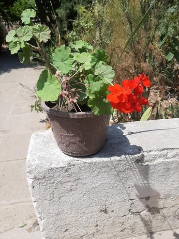 Bakı şəhərində Digər otaq bitkiləri
