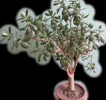 Продаю цветы - 2 шт - живое дерево, денежное дерево