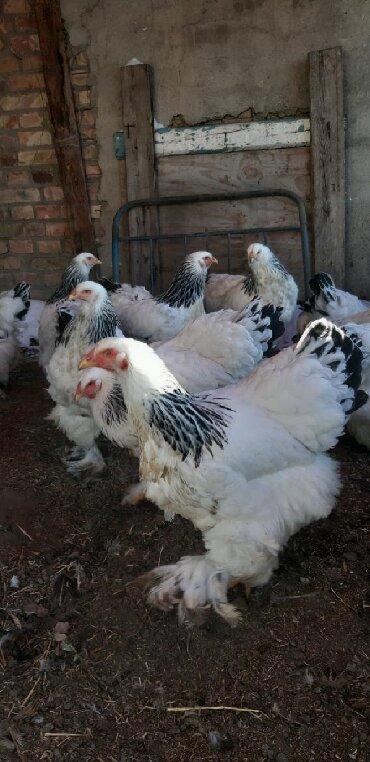 Чистокровные гигант брамма принимаем заказы на инкубационные яйца и цы