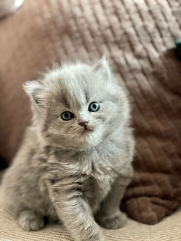 Γατάκια Purebred Scottish προς πώληση 11 εβδομάδων τώρα με όλα τα