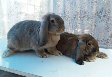82 объявлений   ЖИВОТНЫЕ: Кролики