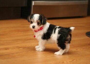 Μινιατούρα Biewer Terrier κουτάβια προς πώληση Είμαι περήφανος που ανα
