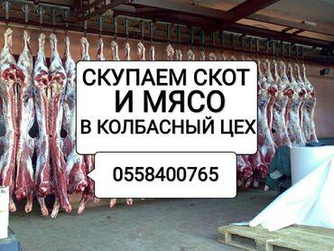 корова бишкек в Кыргызстан: Куплю | Коровы, быки, Лошади, кони | Любое состояние