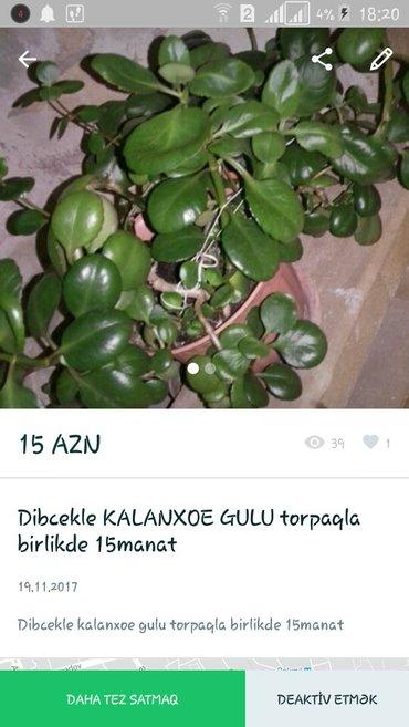 Bakı şəhərində ev gulu ev bitkileri satilir