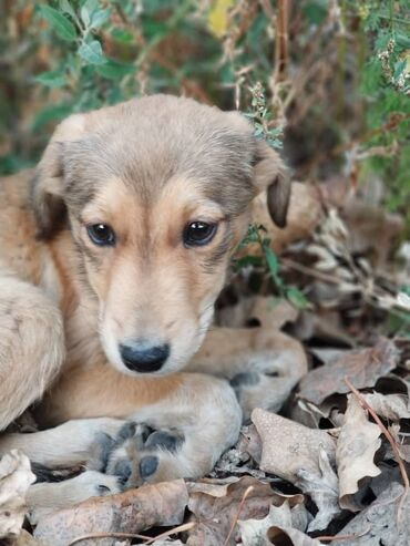 Животные - Кыргызстан: Отдаём в добрые руки щенка мальчика . Привит от паразитов обработ