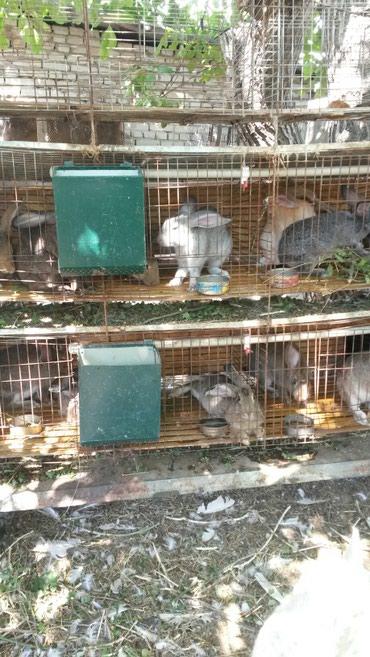 Крольчата от 1,5 мес -250 сом. в Бишкек
