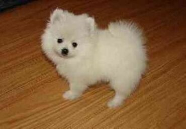 Cute Baby Face Akc εγγεγραμμένο Teacup Pomeranian κουτάβια έτοιμο. για