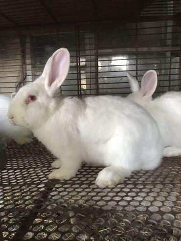 10920 объявлений: Продаю   Кролик самец, Крольчата   Для разведения   Племенные