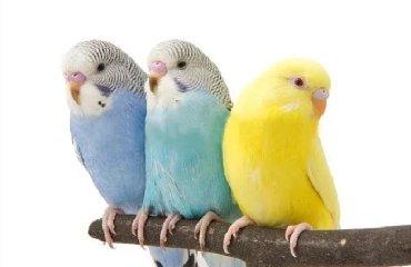 Волнистые попугайчики хорошо учатся говорить и приручаются к рукам