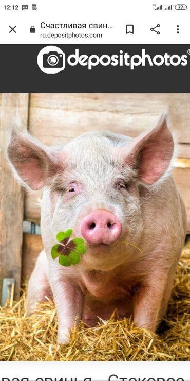 Животные - Кыргызстан: Куплю свиней дорого