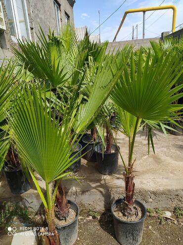 таблетки для роста в душанбе в Кыргызстан: Пальма Вашингтония Доставка бесплатно рост 1.5метра и выше