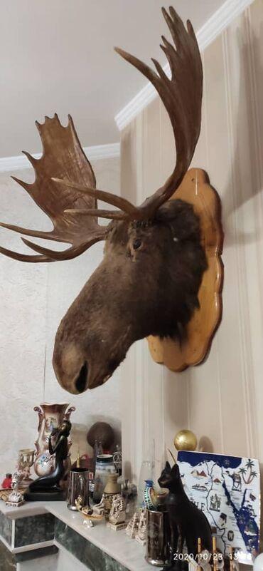 Декор для дома - Кыргызстан: Продаю декоративную голову (чучело) Лося