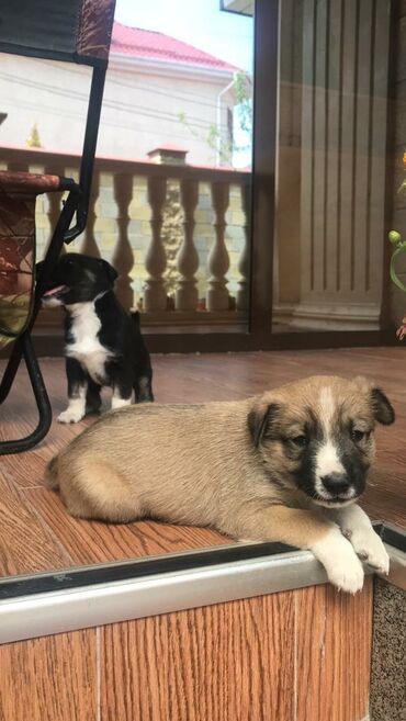 Животные - Джал мкр (в т.ч. Верхний, Нижний, Средний): Продаю три щенка полукровки  Мать чистая лайка Каждый щенок по 500 сом