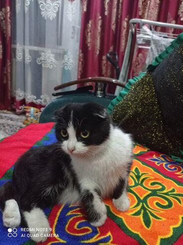 Продаю котенка Шотландская виселоухий девочка 4 месяца г Токмак срочно