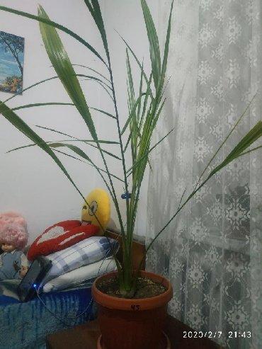 Финики - Кыргызстан: Продаю финиковую пальму,возраст 12 лет,высота 130 см