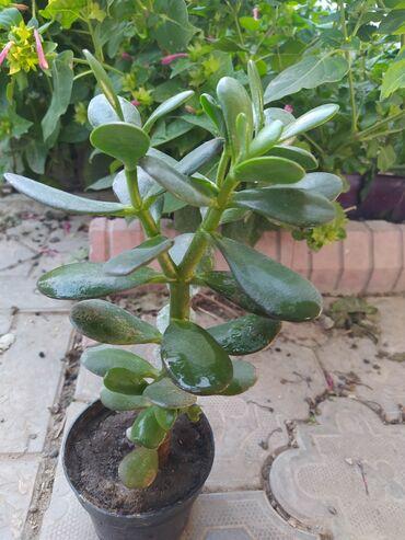 Денежное дерево - Кыргызстан: ГОРОД БИШКЕК  Растение: Денежное дерево Возраст: 1 год Цена: 200 с