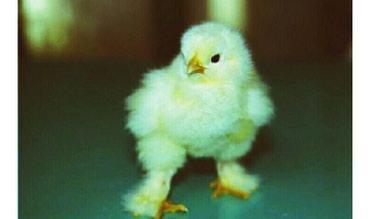Суточных цыплят светлой брамы, у нас в Лебединовка