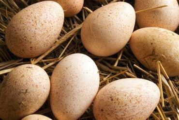 Животные - Чалдавар: Продаю инкубационые яйца индюшки свежие могу сделать бесплатную доста
