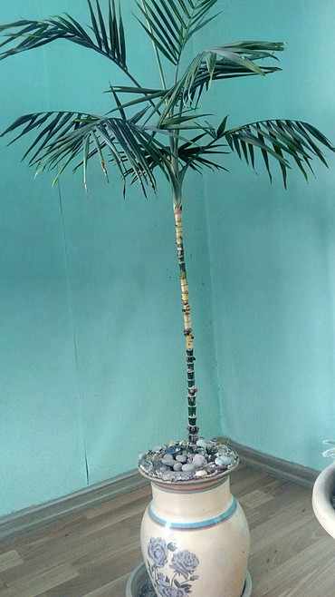 комнатный-цветы в Кыргызстан: Домашний цветок в горшке. пальма. 1метр