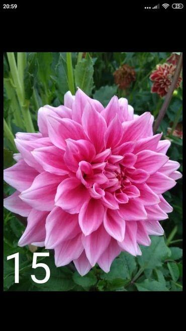Садовые зонты - Кыргызстан: Куплю цветы#Хризантема#гиоргин#эвилин#цветы#лилия#ромашка#роза