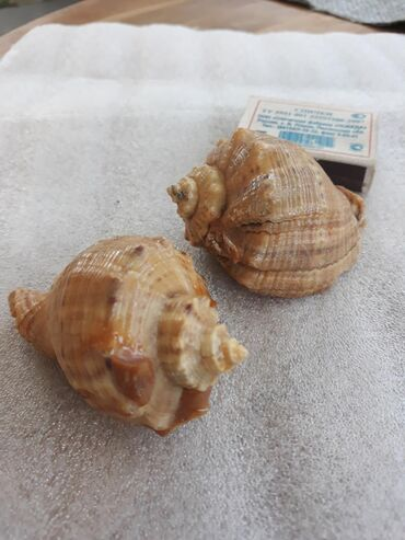 Ракушки . Из красного моря