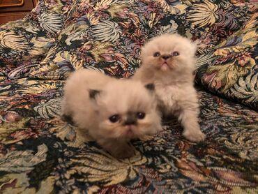 Гималайские персы мальчик и девочка. Родились в середине августа. Оба