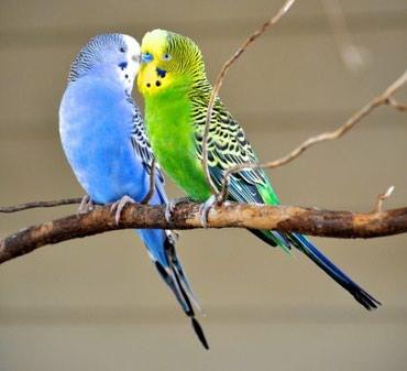 волнистые попугаи размножение в Кыргызстан: Хорошие взрослые попугаи волнистые по 500 сом