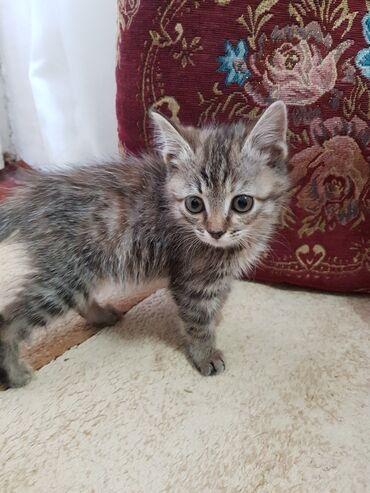 продадим куклу в Кыргызстан: Продадим 3 месячного котенка в надежные, хорошие руки. Мама-
