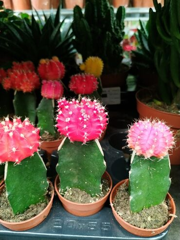 Kaktus - Azərbaycan: Кактусы.Производитель: Нидерланды.Цены: 15 азн. Онлайн заказы