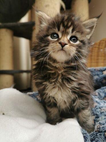 Мачићи Маине на продајуИмамо запањујуће легло од сребрног пегавог