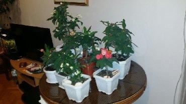 Kućne biljke | Srbija: Hristov trn, sobna biljka, cveta preko cele godine, cena od 400-800