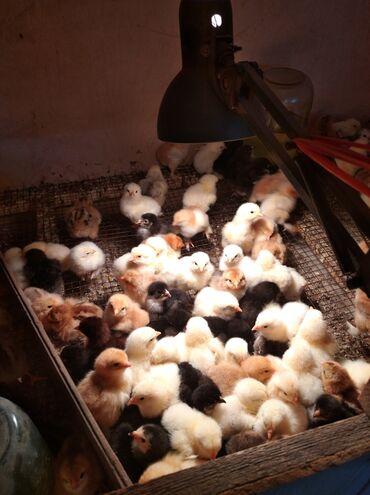 Суточные цыплята брама