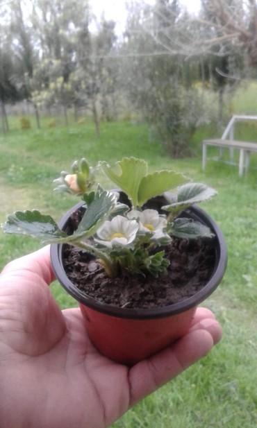 Otaq bitkiləri - Masallı: Dipçəkdə çiyələk şitili satılır. İlin fəsillərindən asılı olmayaraq