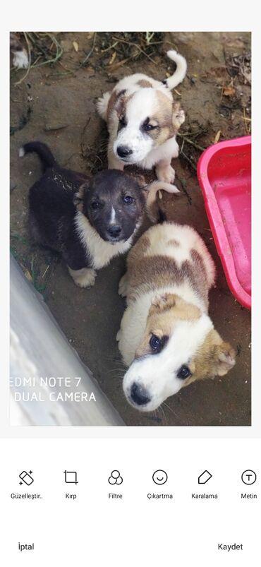 dog - Azərbaycan: 2aylığ Çoban iti satılır 1-i 70 manatdan. Ciddi şəxslər narahat etsin