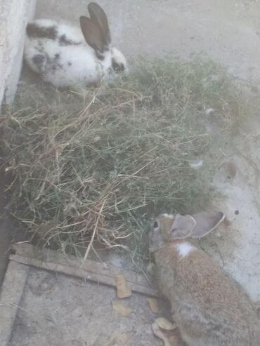 dovsanlar - Azərbaycan: Dovsanlar erkey disidi cutu 14 azn