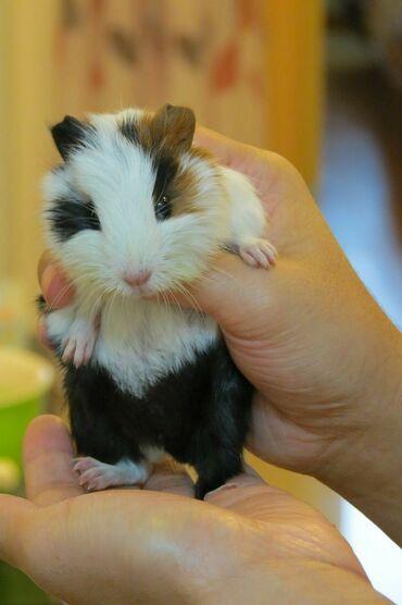 Морские свинки - Кыргызстан: Морские свинки очень милые приученные к рукам