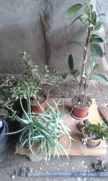 Комнатные растения в Кок-Ой: Алоэ, фикус и живое дерево.3 х летнии. договорная