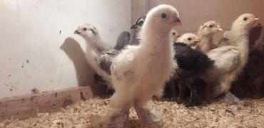 toyuq cuce satisi в Азербайджан: Цыплята   Брама