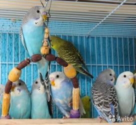 волнистые попугаи размножение в Кыргызстан: Продаются волнистые попугаи неприхотливыелегкие в размножениеможно