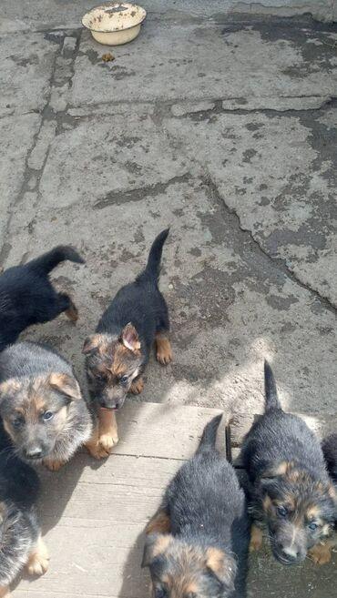242 объявлений | ЖИВОТНЫЕ: Продаются щенки немецкой овчарки цена договорная