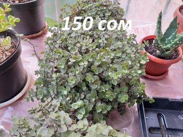 Продаются комнатные растения, суккуленты, кактусы. Кализия