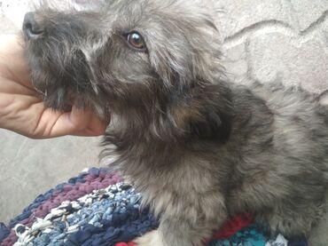 Продаю щенка чистокровной болонки(мальчик) возраст 3 месяца.Уже лает
