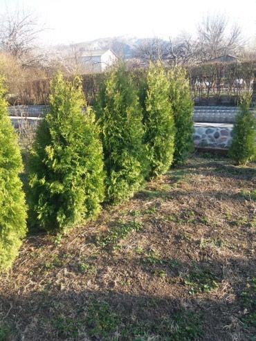 оцинкованный лист цена бишкек в Кыргызстан: Продаю туи, цена договорная