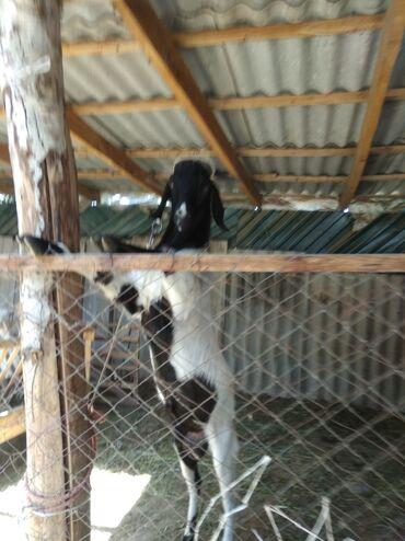 Животные - Кызыл-Адыр: Продаётся козёл. 1 год  Порода: Чистый битал